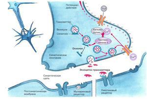Общие сведения о синапсе
