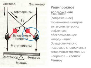 Взаимное торможение центров - механизм взаимодействия